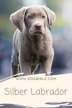 Möchtest du einen Silber Labrador vom Züchter kaufen? Dann musst du folgendes über die Rasse wissen. Alles was du über diese Form von Farbe bei Rassehunden wissen musst, erfährst du im Blogpost von dogbible.com Rhodesian Ridgeback, Labrador Retrievers, Yorkshire Terrier, Shih Tzu, American Bully, Labradoodle, Form, Animals, Black Labrador