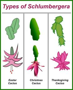 """Three leaf cacti with words at the top reading """"types of schlumbergera."""" These holiday cactus plants are easy to tell apart from their leaves. Click through for growing tips for this pretty house plant. #thanksgivingcactus #schlumbergera #holidayplants #crabcactus Easter Cactus, Mealy Bugs, Cactus Care, Epiphyte, Gardening Tips, Indoor Gardening, Cactus Plants, Cacti, Soil Layers"""