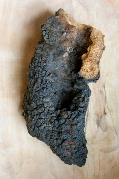 Chaga: From Tree to Tea | The Mushroom Forager // I love the smell of burning chaga. The inner core works great for tinder when using your flint and steel.