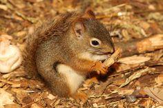 Cute Squirrels | very cute red squirrel three cute red squirrels red squirrel