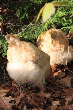Tilly's Nest: How to Free-Range Chickens with Supervision