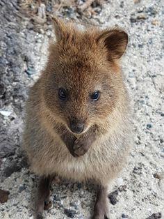 Cute Wild Animals, Animals Beautiful, Animals And Pets, Quokka, Nature Collection, Australian Animals, Wildlife Conservation, Big Cats, Squirrel