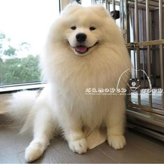 Coby The Samoyed