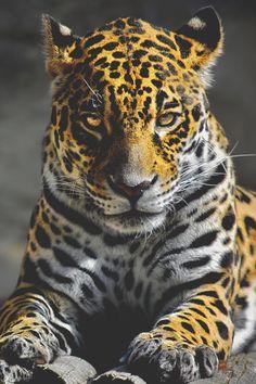visualechoess:  Jaguar