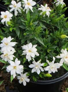 Gardenia Frost Proof, Fragrant White Flowers, Deer Resistant, Border Or Accent - ( 1 gallon )