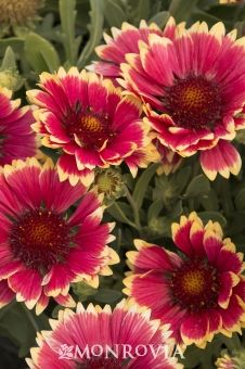 Sunset Candy Blanket Flower - A stunning two row of flat petals, in soft pink tones with a cream border. Blooms from early summer until frost if kept deadheaded. This perennial is easily grown in well-drained, average soil and a sunny location.