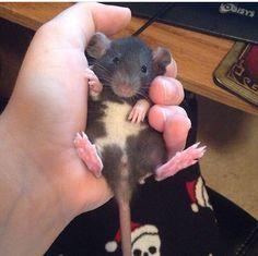 Aww little rattie