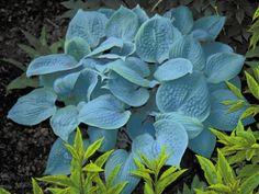 Fragrant Blue Hostas