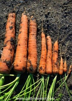 How to harvest and store carrots.  When, where and how to keep fresh carrots for the longest time with the best results.