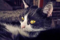Free Image on Pixabay - Cat, Animal, Pet, Domestic Cat Free Pictures, Free Images, Domestic Cat, Nature, Pasta, Iphone, Pet Cats, Kitty Cats, Cat Health