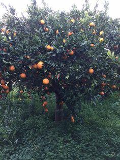 """Γλυκό του κουταλιού πορτοκάλι """"ολόκληρο"""" – Συνταγές της Ασπρούλας"""