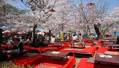 Maruyama Park - Cherry Blossom viewing in Early April. Park has restaurants with tables under the trees.