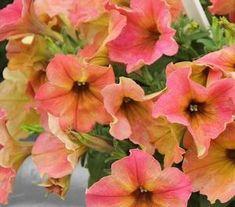 Petunia 'Crazytunia Terracotta' Petunia from Ebert's Greenhouse Village