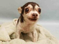 SUPER URGENT Manhattan Center MAELYN – A1092983 FEMALE, CHOCOLATE / WHITE, CHIHUAHUA SH, 12 yrs STRAY – STRAY WAIT, NO HOLD Reason STRAY Intake condition GERIATRIC Intake Date 10/10/2016, From NY 10468, DueOut Date 10/13/2016,