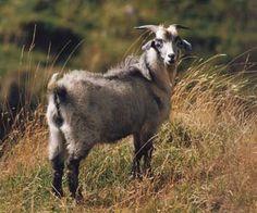 137 Best Kikos: Homesteader's Goat images in 2018   Goats, Animals