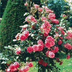 rosier pleureur magic meilland cor meibonrib rosiers pleureurs meilland richardier roses. Black Bedroom Furniture Sets. Home Design Ideas