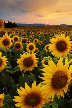 Sunflowers And Roses, Sunflowers Background, Field Of Sunflowers, Yellow Flowers, Sunflower Garden, Sunflower Flower, Yellow Sunflower, Images Esthétiques, Nature Images