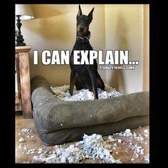 Dog problems. #doberman #crazyrebels