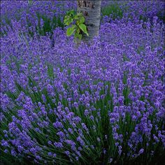 Lavender Hidcote Blue   Lavandula angustifolia ´Hidcote blue´