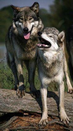 Wolf Park Wolf Park, Battle Ground, Indiana by Debs