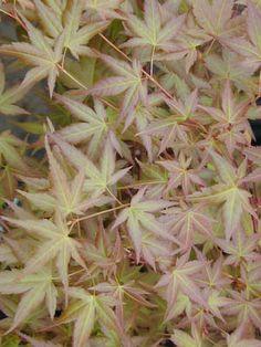 ACER palmatum Johnnie's Pink at Essence of the tree