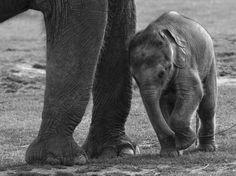HOW LONG DO ELEPHANTS STAY PREGNANT?