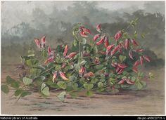 Rowan, Ellis, 1848-1922. Brachysema praemorsum, family Fabaceae, Pea bush, Western Australia [picture]
