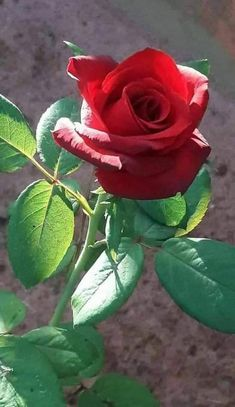 Is Endless ❤️ Beautiful Rose Flowers, Exotic Flowers, Amazing Flowers, Red Flowers, Beautiful Flowers, Love Rose Flower, Rose Pic, Flower Phone Wallpaper, Hummingbirds