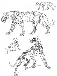 drawing Illustration art reference art tutorial character design reference anatomy for artists animal anatomy reference The Art of Animal Drawing Ken Hultgren big cat reference animal anatomy for artists Anatomy Sketch, Anatomy Drawing, Anatomy Art, Cat Drawing, Drawing Tips, Cat Reference, Anatomy Reference, Drawing Reference, Design Reference