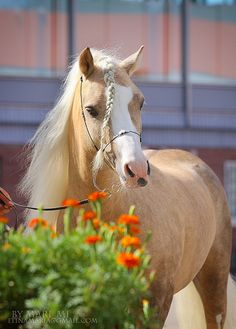 Welsh Pony's are bigger than Shetland Ponies and certainly a lot larger than Miniauture Ponies or Horses.  Choose a pony ride business that offers pony rides on Shetlands or Welsh Mountains for safe and comfortable hand led pony rides.