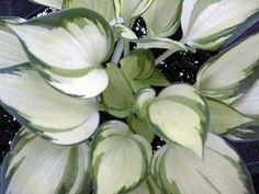 Warwick Delight Hosta - Shade Perennial Small Hosta Plant