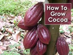 How To Grow Cocoa - now you can make your own chocolate at home... #gardening…