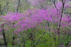 HSNP Layers of Spring RedBud Tree