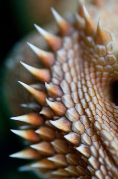 Bearded dragon. Macro. Flickr