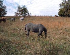 Gray-Horse_9
