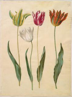 Tulipa gesneriana, KKSgb2947/45
