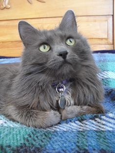Isabeau, the Nebelung cat, looks pensively off into the distance.