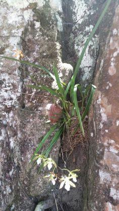 Orquídea em paredão de pedra. Cerrado Goiano.