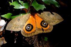 Algumas mariposas revelam asas coloridas quando se sentem ameaçadas. a intenção é assustar um possível predador - Foto: Fábio Paschoal