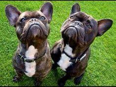 French Bulldogs #buldog