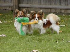 Papillons love to play with each other.