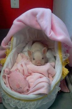When I will have my baby piglet, she will also be spoiled just like in this picture <----- This haha. WHEN I have my baby piglet Cute Baby Pigs, Baby Piglets, Cute Piglets, Mini Piglets, Cute Funny Animals, Cute Baby Animals, Animals And Pets, Farm Animals, Teacup Pigs