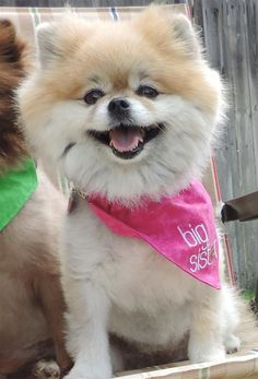 Lost Dog - Pomeranian Toy - Fort Worth, TX, United States 76123