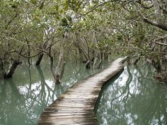 Mangroves near Waitangi, New Zealand