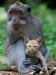 In Bali, a lonely macaque cares for a stray kitten. The young male macaque would groom, hug and nuzzle his feline friend, and the kitten was content to be carried around by him.
