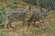 Plano de conservação salva raposa quase extinta