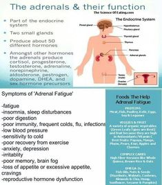 """""""The Adrenals and Their Function, Symptoms of Adrenal Fatigue, & Foods that Help Adrenal Fatigue"""" infographic Fatiga Adrenal, Adrenal Health, Adrenal Glands, Thyroid Gland, Thyroid Disease, Thyroid Cure, Adrenal Stress, Adrenal Fatigue Symptoms, Ramadan"""