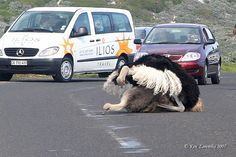 Ostriches stop traffic in South Africa