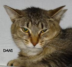 ADOPTED! URGENT!! AVAILABLE NOW! STRAY Tag# 2588 Name is Dani Tiger  Female-unsure of spay  https://www.facebook.com/267166810020812/photos/a.687700414634114.1073742055.267166810020812/687700531300769/?type=3&theater