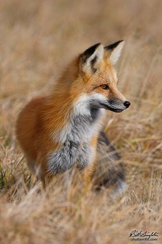 Red Fox by Bill Singleton